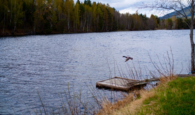 flyingduck